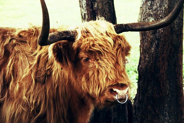 Gwen the cow.jpg