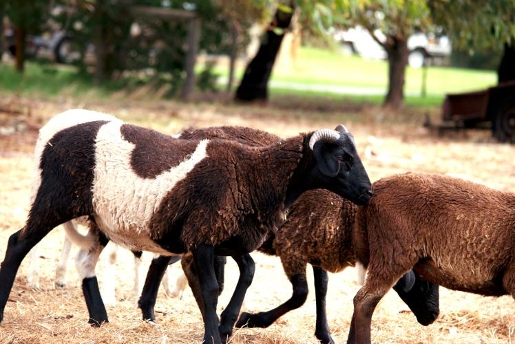 Sheep 2.jpg